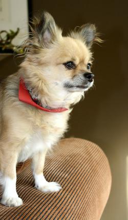 chihuahua on sofa